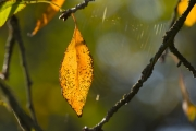 Autumn_leaf_2