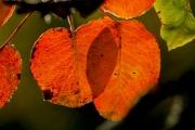 Autumn_leaf_3-e1539184021544
