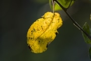 Autumn_leaf_1