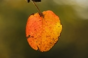 Autumn_leaf_4